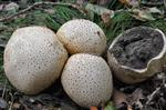 Earth Ball (Scleroderma citrinum)